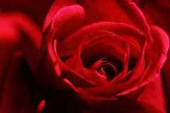 Valentine Red Rose. Closeup of rose. Closeup of rose flower on red background Stock Photography