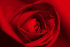 Valentine,Red Rose,Single Flower,Nature Royalty Free Stock Images