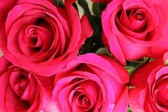 Valentine Red Roses Nahaufnahme von stieg Stockfotos