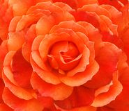 Valentine rose. Close up of unfolding rose Royalty Free Stock Images