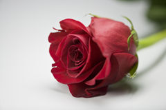 Valentine Rose Stock Images