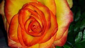 Valentine Rose imagem de stock royalty free