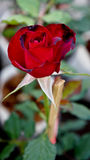 Valentine Rose Image stock