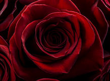 Valentine rose background. Royalty Free Stock Photos