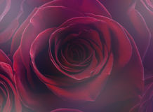 Valentine rose background. Stock Images