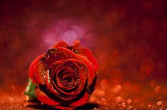 Valentine rose Stock Images