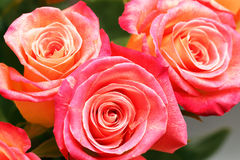 Valentine rose. Close-up image of duo tone roses for Velentine Stock Photos