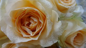 Valentine rose Royalty Free Stock Images