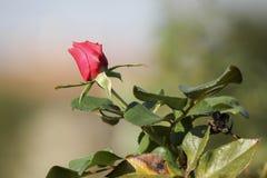 Valentine rosebud Royalty Free Stock Images