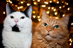 Valentines Cats. Two cats on Valentines Day Stock Photography