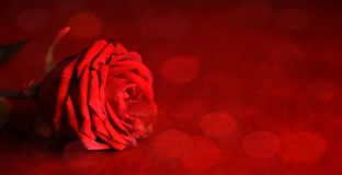 Valentine`s Day card with copy space. Red rose. royalty free stock photography