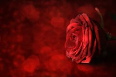Valentine`s Day. Red rose on defocused background. royalty free stock photo