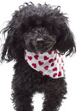Valentine's Day Dog. A poodle wearing a white bandana with hearts for Valentine's Day isolated on a white background Stock Image