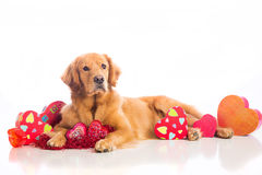 Valentine's Day Dog Royalty Free Stock Image