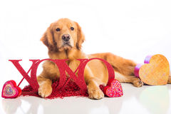 Valentine's Day Dog Royalty Free Stock Photos