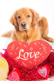 Valentine's Day Dog Royalty Free Stock Photos