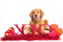 Valentine's Day Dog wit XOXO sign royalty free stock images
