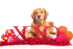 Valentine's Day Dog wit XOXO sign Royalty Free Stock Image