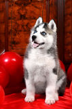 Valentine`s day husky puppy on a texture background. Stock Image