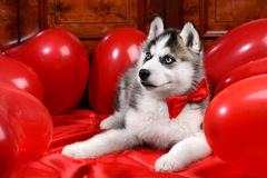 Valentine`s day husky puppy on a texture background. Valentine`s day husky puppy with a big red heart balloon on a texture background Royalty Free Stock Photo