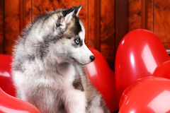 Valentine`s day husky puppy on a texture background. Valentine`s day husky puppy with a big red heart balloon on a texture background Royalty Free Stock Image