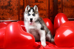 Valentine`s day husky puppy on a texture background. Valentine`s day husky puppy with a big red heart balloon on a texture background Royalty Free Stock Photography