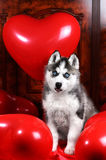 Valentine`s day husky puppy on a texture background. Valentine`s day husky puppy with a big red heart balloon on a texture background Royalty Free Stock Photos