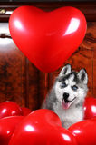Valentine`s day husky puppy on a texture background. Stock Images