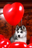Valentine`s day husky puppy on a texture background. Stock Photo