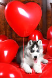 Valentine`s day husky puppy on a texture background. Valentine`s day husky puppy with a big red heart balloon on a texture background Royalty Free Stock Images