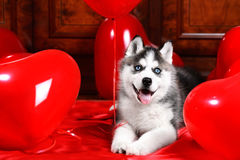 Valentine`s day husky puppy on a texture background. Valentine`s day husky puppy with a big red heart balloon on a texture background stock photography
