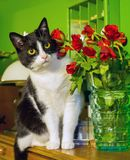 Valentine`s day of my cat royalty free stock photo