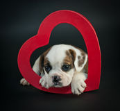 Valentine's Day Puppy Stock Photos