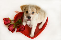 Valentine's Day Puppy with heart and roses. Looking up smiling with white background Royalty Free Stock Image