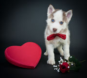 Valentine's Day Puppy. Valentine's day husky puppy with a big red heart and a single red rose on a black background Stock Photos