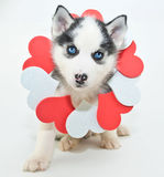 Valentine's Day Puppy Royalty Free Stock Image