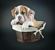 Valentine's Day Puppy Stock Image