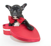 Valentine's Day Puppy Royalty Free Stock Photography