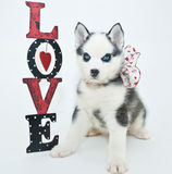 Valentine's Day Puppy royalty free stock images
