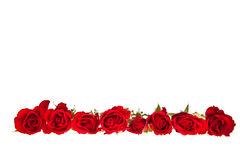 Valentine's day red roses isolated Stock Photography