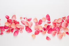 Valentine`s Day. Rose flowers petals on white background. Valentines day background. Flat lay, top view, copy space.  stock photography