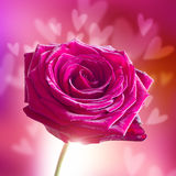 Valentine's Day Rose with Hearts. A Valentine's Day Rose with Hearts royalty free stock images