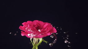 Valentine`s Day rose and water splash, slow motion.  stock video