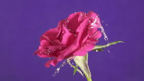 Valentine`s Day rose and water splash, slow motion.  stock footage