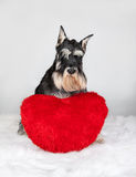 Valentine's Day schnauzer dog. Lover Valentine's Day schnauzer puppy dog with a red heart Royalty Free Stock Image