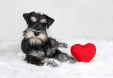 Valentine's Day schnauzer dog. Lover Valentine's Day schnauzer puppy dog with a red heart Stock Images