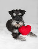 Valentine's Day schnauzer. Lover Valentine's Day schnauzer puppy dog with a red heart Royalty Free Stock Photography