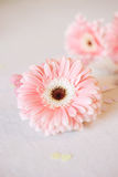 Valentine`s Day symbols tender gerbera flowers and heart candies Royalty Free Stock Photos