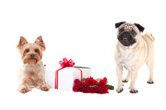 Valentine's day - yorkshire terrier and pug dog with gift box an Stock Image