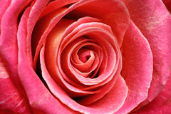 Valentine's rose. Macro image of a single rose with soft curves and layers Royalty Free Stock Images